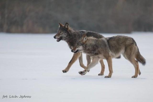 Te dzikie zwierzęta coraz częściej podchodzą do domostw