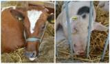Kiedy pieniądze dla producentów mleka i świń? Sprawdź, ile jest wniosków
