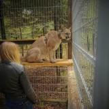 Puma z Ogrodzieńca złapana. Trafiła na kwarantannę do zoo
