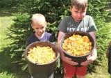 W gminie Sławno kosili kurki w lesie, jak kombajn na polu zboże! Nazbierali aż 9 kg! ZDJĘCIA