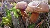 Rydze, prawdziwki, koźlaki, zajączki, podgrzybki, maślaki już w koszach grzybiarzy. Grzybobranie 2021: lasy znów pełne grzybów! 20.09.2021