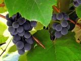 Producenci i przedsiębiorcy wyrabiający wino powinni złożyć deklaracje. Czas się kończy