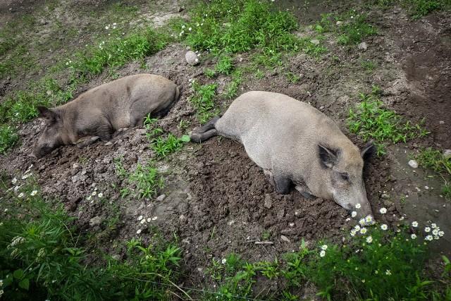 Dziki grasują w okolicach Maczka w Białymstoku