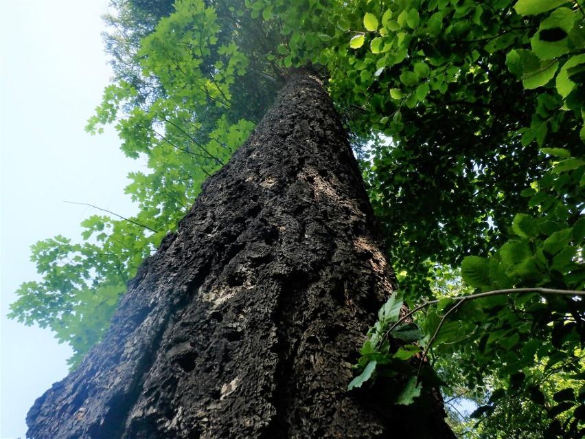 Korony daglezji zielonych w Alei Orłów są tak wysoko nad...