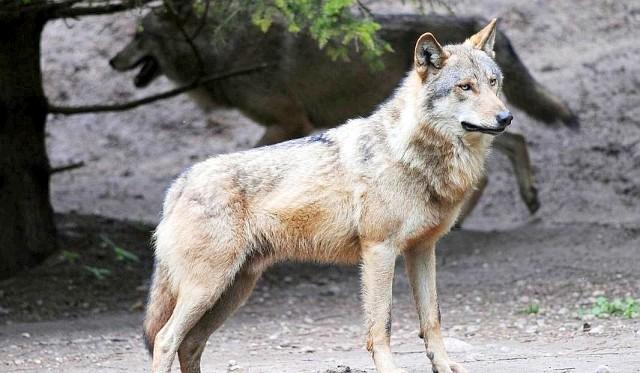 Szacuje się, że w podinowrocławskim kompleksie leśnym Rejna - Balczewo żyje około 10 wilków. Rozmnażają się i wychowują młode