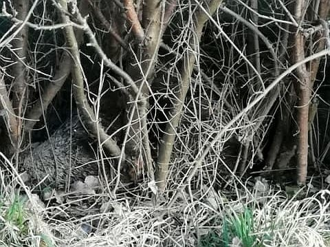 Martwy dzik był z drogi niemal niewidoczny, leżał za krzakami przy ogrodzeniu ogrodów działkowych