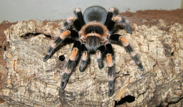 Wystawa pająków i skorpionów w Galerii Malta potrwa od 6 czerwca aż do końca sierpnia.