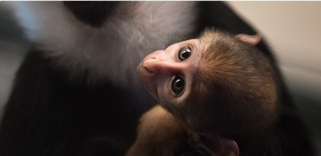 Zobacz, jakie maluchy urodziły się we wrocławskim zoo w ubiegłym roku. Często takie narodziny to prawdziwa sensacja, hodowle zachowawcze bywają bowiem czasem jedyną szansą na przetrwanie gatunku. Jakie zwierzęta urodziły się (bądź wykluły) w zoo we Wrocławiu? Zobaczcie na kolejnych slajdach - posługujcie się klawiszami strzałek, myszką lub gestami.Na zdjęciu koczkodan górski, który 1 stycznia 2019 roku miał zaledwie tydzień.