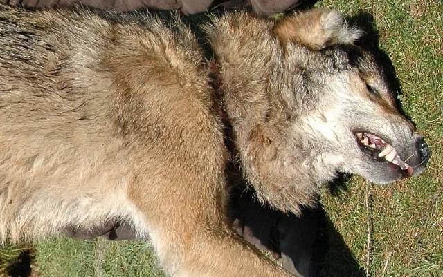 Znaleziony w Leśnictwie Żohatyn wilk wpadł we wnyki.