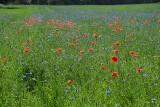 Tak pięknie kwitnie teraz łąka niedaleko Zielonej Góry. Czytelniczka: człowiek siedzi w mieście i nawet nie wie, jakie cuda go omijają!