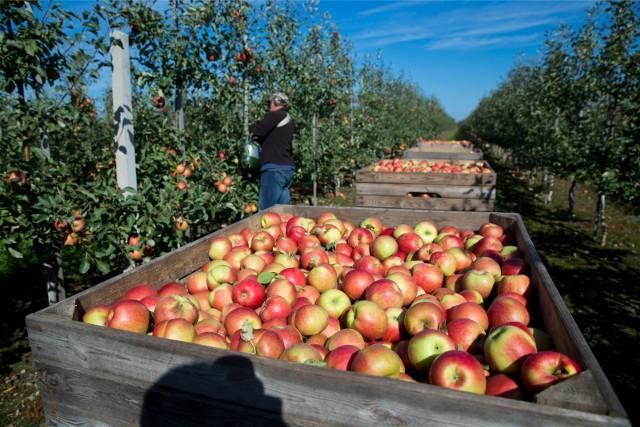 Białoruś, Kazachstan i Serbia - to trzy największe pozaunijne rynki zbytu polskich jabłek