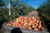 Eksport jabłek większy. Główny odbiorca? Białoruś