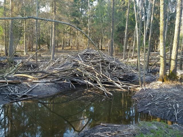 Nasz Czytelnik ma problem z bobrami, które wycięły mu sporo drzew i pobudowały wysokie żeremie.