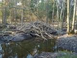 Rybniki: Bobry zniszczyły las, ścięły 80 proc. drzew liściastych. Na podwórku utworzyło się wielkie bagno [ZDJĘCIA]
