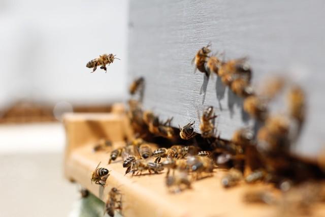 Janowscy policjanci zatrzymali 59-latka, który odpowie za zatrucie środkami chemicznymi 60 pszczelich rodzin