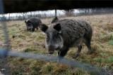 Dziki we Wrocławiu podchodzą coraz bliżej ludzi