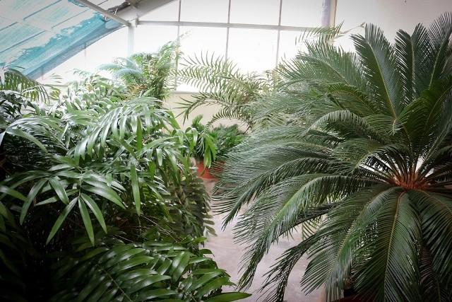 Wrocławski ogród botaniczny uczy jak radzić sobie ze smogiem. Powstała tu antysmogowa strefa odpoczynku.Stojąca na półce paprotka, czy zwisający z parapetu bluszcz może pomóc w walce ze smogiem. - Warto je trzymać nie tylko ze względów estetycznych, ale także ze względów ekologiczno-zdrowotnych. Rośliny mają umiejętność neutralizowania szkodliwych substancji, potrafią wbudowywać je w swoje tkanki. Główną rolę w oczyszczaniu powietrza odgrywają mikroorganizmy znajdujące się w ich strefie korzeniowej - mówi Karolina Sokołowska, opiekun roślin tropikalnych z wrocławskiego ogrodu botanicznego.Rośliny radzą sobie zarówno ze szkodliwymi substancjami chemicznymi, jak i unoszącym się w powietrzu pyłem. Dodatkowo zwiększają wilgotność powietrza w mieszkaniu. Jakie rośliny są najlepsze do walki ze smogiem? Podpowiadamy.Przejdź dalej strzałkami na klawiaturze bądź gestami na ekranie.