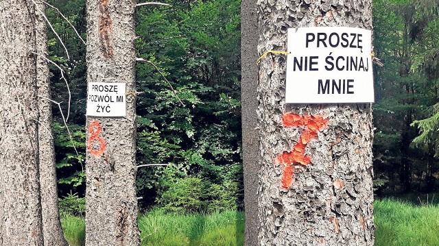 Drzewa na Górze Chełmskiej rzeczywiście zostały przeznaczone do wycinki. Wytypowała je do tego specjalna komisja. Ponoć zagrażają bezpieczeństwu