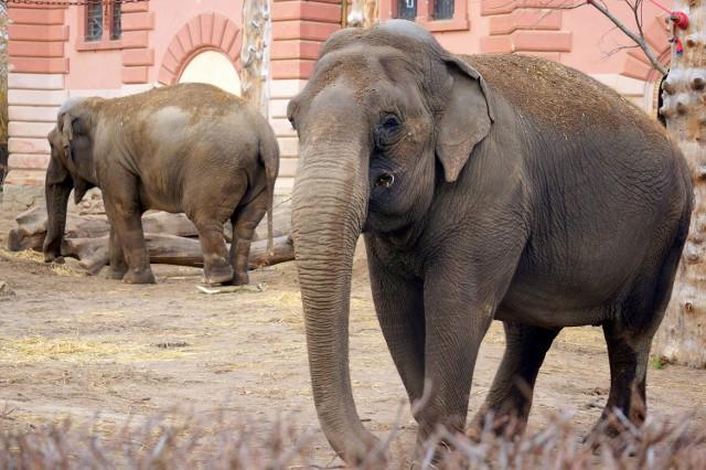 Na zdjęciu jedna z ogrodowych babć - słonica Toto, urodzona około 1960 roku w Tajlandii