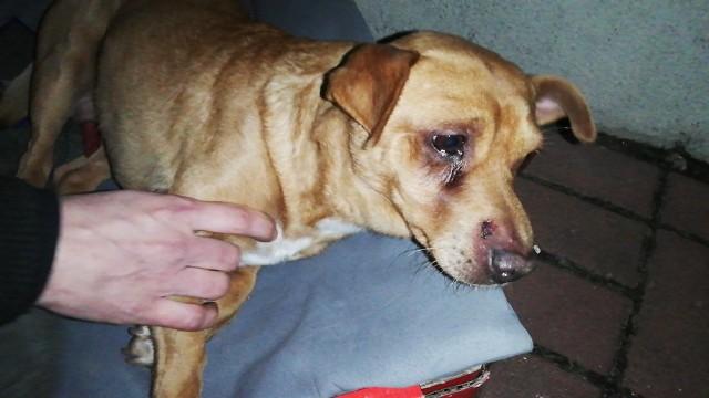 W poniedziałek, 12 lutego w Siedlisku w godzinach wieczornych na terenie prywatnej posesji, w szopie, znaleziono pobitego, nie mogącego podnieść się psa. Dziewczyna, która go znalazła, zadzwoniła do obrońców praw zwierząt. Psiak natychmiast został zabrany przez OTOZ w bezpieczne miejsce. Zwierzę bardzo cierpi  Pies znaleziony został w szopie, w której schował się przed oprawcą lub szukał pomocy. Cały pyszczek ma w krwiakach, wygięty, bez czucia w tylnych łapach. Gdy został znaleziony, trząsł się z zimna i przerażenia. Po pierwszych badaniach wiadomo już, że pies ma złamany kręgosłup. Nie wiadomo, czy jest uszkodzony rdzeń. W ciele znajduje się też śrut. Ktoś do tego psa również strzelał.Weterynarze wykluczyli wypadek z udziałem samochodu czy pogryzienie przez innego psa. Psiak został pobity za pomocą tępego narzędzia. Stan zwierzaka jest wynikiem katowania go przez człowieka. Psiak w tym momencie przebywa w klinice w Gorzowie Wielkopolskim. Przed psiakiem tomograf i kolejne badania. Jeśli psiak przeżyje - czeka go operacja kręgosłupa, a następnie kilka miesięcy rehabilitacji. W internecie trwa zbiórka na rehabilitację psa.