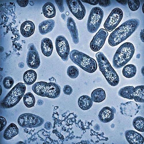 Bakterie salmonelli.