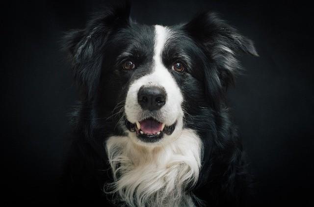 """1. BORDER COLLIETa rasa psów plasuje się na pierwszym miejscu w rankingu """"Inteligencja psów"""" Stanleya Corena. Pochodzący z Wielkiej Brytanii pies pasterski Border collie cechuje się niezwykłą podatnością na szkolenie i pracę z człowiekiem. Mówi się, że są to psy ponadprzeciętnie oddane swoim właścicielom, uległe oraz zrównoważone. Za ciekawostkę uchodzi suczka Chaser - border collie znająca ponad 1000 słów!POLECAMY:"""