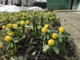 To już wiosna? W Słupsku spod śniegu wyglądają pierwsze kwiaty, a synoptycy zapowiadają powrót mroźnej zimy