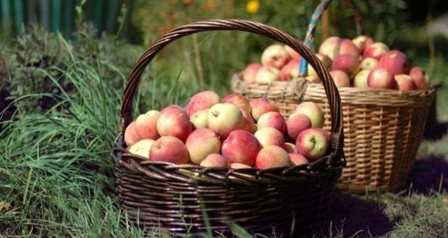 4 grudnia w Bolszewie rozdanych zostanie 20 ton jabłek