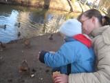 Dzikie kaczki w Lubsku jedzą wszystko, co im się podrzuci