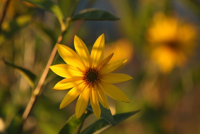 Wśród uprawianych w ogrodzie kwiatów ozdobnych jest wiele takich, które można wykorzystać do jedzenia. Niektóre mogą być niemal samodzielną potrawą, inne – dodatkiem lub przyprawą. Z drugiej strony są też rośliny uprawiane jako typowo użytkowe, które wyglądają na tyle ładnie, że można spokojnie wykorzystać je również jako rośliny ozdobne. Zobacz 15 roślin, które są i jadalne, i ozdobne. Większość z nich jest też łatwa w uprawie.