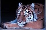 """Tygrysy z poznańskiego zoo są już w ośrodku w Hiszpanii. Po długiej podróży zyskały nowy dom. """"Zmęczone, ale bezpieczne"""""""