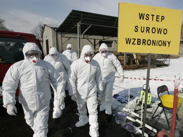Ptasia grypa coraz bliżej Kalisza i Ostrowa/zdjęcie ilustracyne
