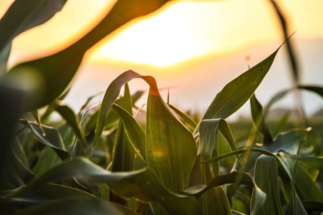 Susza nie ustępuje i dotyka uprawy rolnicze