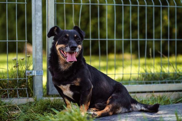 KSIĄŻE Pies, mały, ur. ok. 2014 r.Czarny Książe to bardzo przyjazny i kontaktowy piesek. Nie wykazuje agresji wobec ludzi i psów. Nie należy do psów energicznych, dobrze sprawdzi się jako towarzysz domatorów.W schronisku od: 15.06.2020 r.