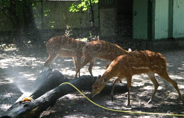Zoo Poznań: Zwierzęta latem także potrzebują ochłody. Jak radzą sobie w upalne dni?