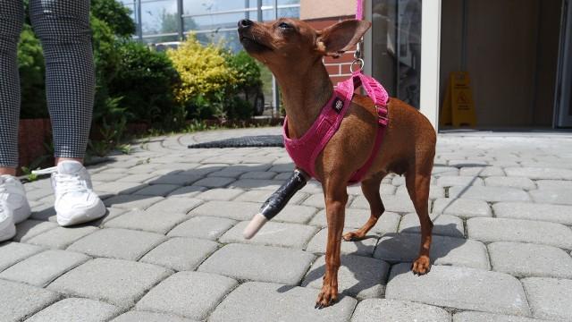 """Ratlerek """"Karmelka"""" ma protezę podarowaną przez rzeszowskich specjalistów."""