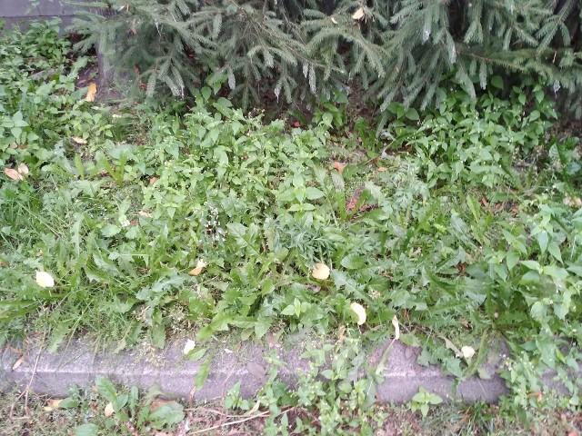 Lokatorzy mieszkający przy ul. Plac Dąbrowskiego i Deotymy w Słupsku skarżą się brud, nieporządek i nieskoszoną trawę na wspólnym podwórku. Po naszej interwencji, teren został uprzątnięty i skoszono trawę.