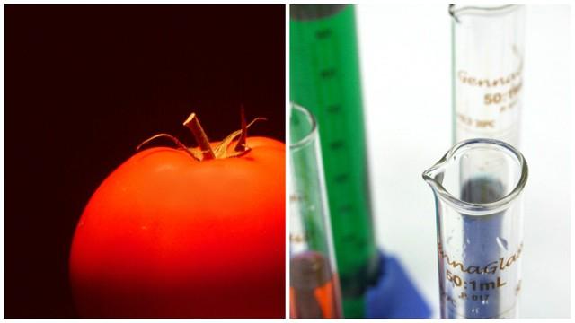 Soja, kukurydza,  rzepak, buraki cukrowe, pomidory, pszenica to najczęstsze uprawy GMO