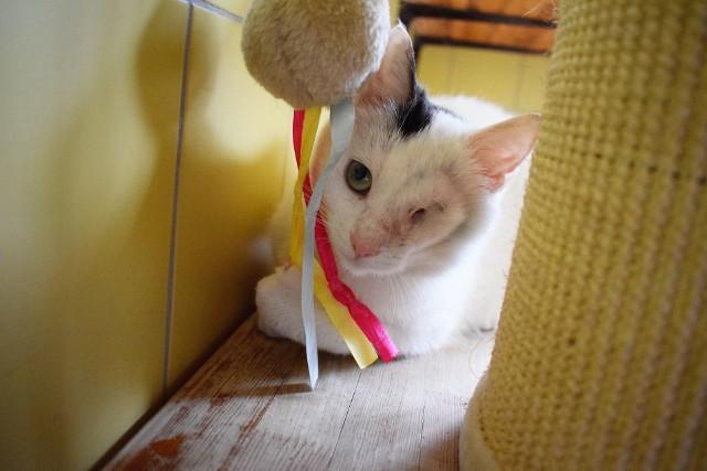 Jesteś miłośnikiem kotów i marzysz o adopcji mruczka? W schronisku przy ul. Ślazowej we Wrocławiu jest sporo kotów, które czekają na nowy dom. Jeżeli jesteś zainteresowany adopcją, spisz jego numer ewidencyjny (podajemy je pod każdym zdjęciem) i zgłoś się z nim do schroniska.Zobacz koty do adopcji na kolejnych slajdach. Możesz na nie przechodzić za pomocą strzałek lub gestów.