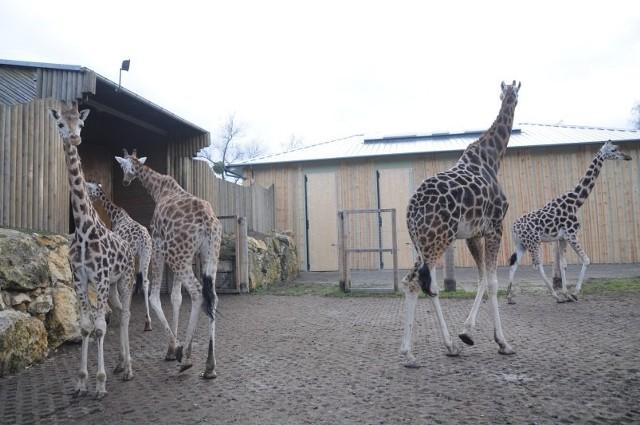 Nowy dom dla żyraf to efekt współpracy polsko-czeskiej.