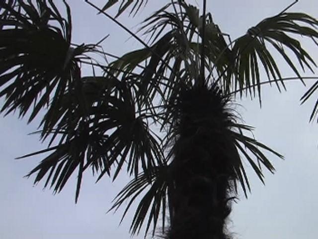 Gorzowskie palmy już dzisiaj znikną z bulwaru. Ale spokojnie, na swoje miejsce wrócą juz na wiosnę.