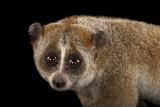 Oto gatunki zagrożone wyginięciem. Spójrz im w oczy, póki jeszcze możesz. Niezwykłe portrety zwierząt