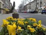 Żółto-czerwone barwy Jagi. Kwiaty w barwach Jagiellonii ozdobią miasto