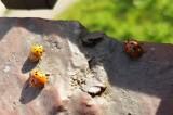 Biedronki azjatyckie znów w natarciu. Gryzą i dają się we znaki alergikom. Biedronki wciskają się do mieszkań, szukają miejsca do zimowania