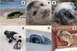 Małe foki pojawiły się na polskim wybrzeżu Bałtyku [ZDJĘCIA]