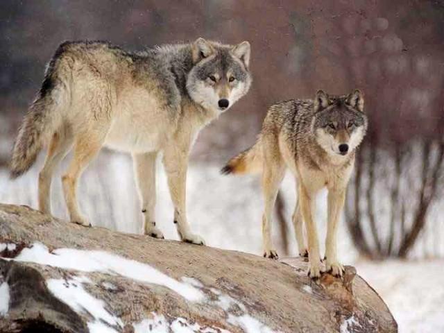 Wilka musimy chronić i stworzyć warunki, by gatunek przetrwał.