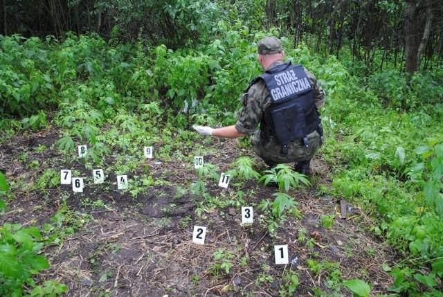 Jedenaście krzewów konopi indyjskich odnaleźli podlascy pogranicznicy.