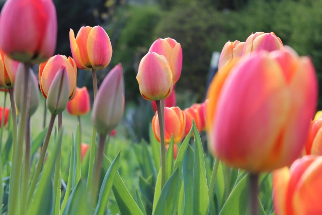 tulipanyWysiane jesienią rośliny korzystają wiosną z wody zgromadzonej w glebie po zimie i szybko kiełkują.