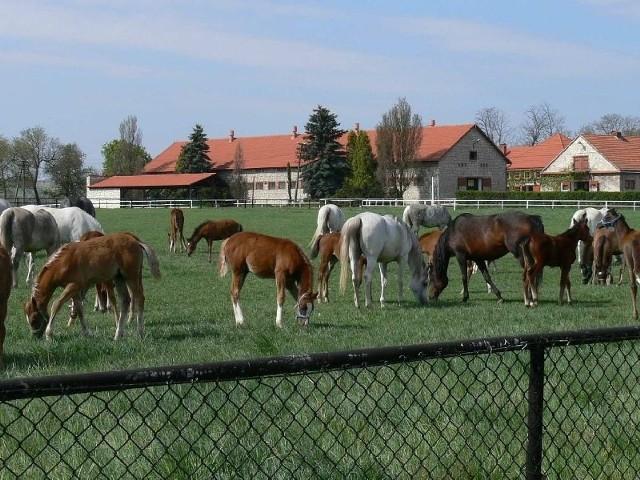 Stadnina Michałów zamierza sprzedać podczas nadchodzącego weekendu czterdzieści koni. Dwanaście ogierów i pięć klaczy dwuletnich które znalazły się w ofercie ponidziańskiej stadniny będzie można oglądać w Michałowie już w najbliższy piątek, 12 października.