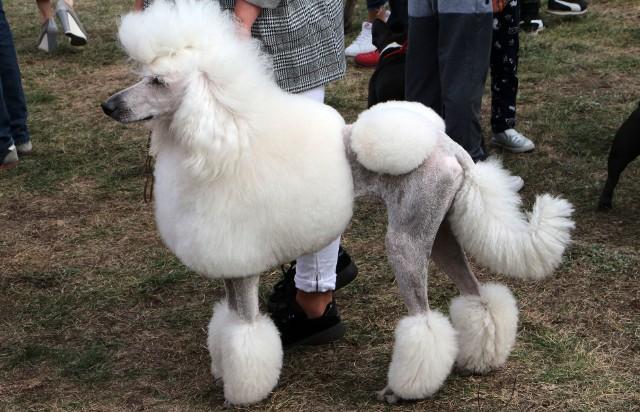 Na boisku sportowym w Mokrem (gmina Grudziądz) Związek Psów Rasowych zorganizował niedzielną wystawę psich piękności. Była to okazja dla miłośników czworonogów do podziwiania kilkudziesięciu psów różnych ras.